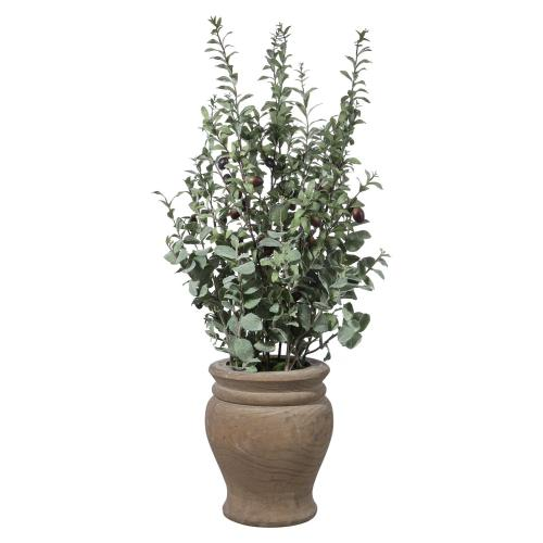 Tassos Potted Olive