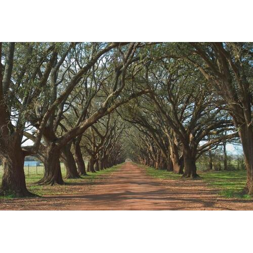S54759  Small - Oak Alley By Alexey