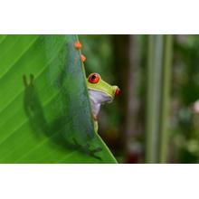Framed - Red Eye Tree Frog