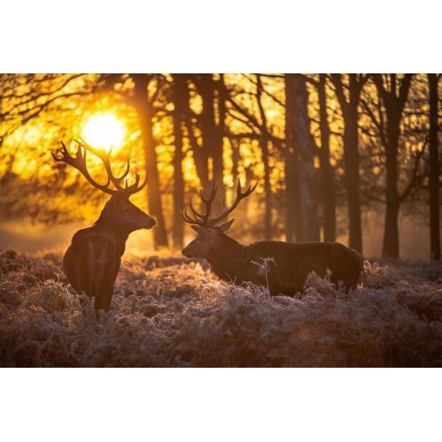 S55083  Small - Deer At Dusk
