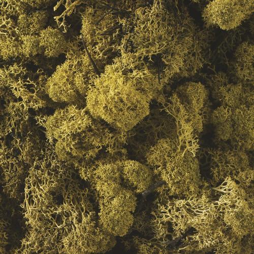 1.1 lbs Green Reindeer Moss