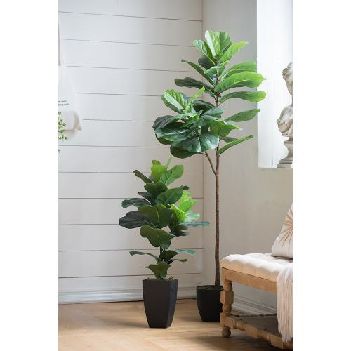 Fiddle-Leaf Fig Tree
