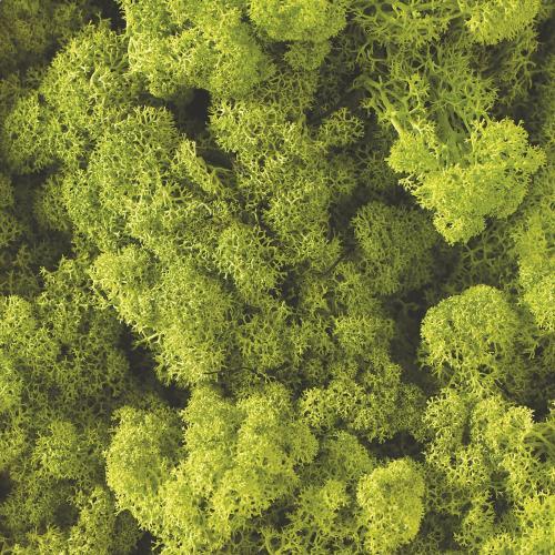 1.1 lbs Bright-Green Reindeer Moss
