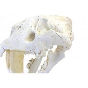 Decorative Saber-toothed Tiger Skull