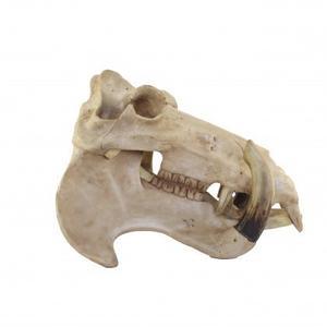 Decorative Warthog Skull